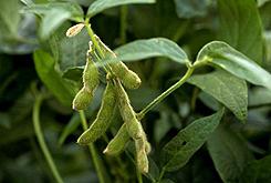 healthy-soybean-plants-elatus-245