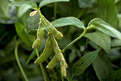 healthy-soybean-plants-elatus-245