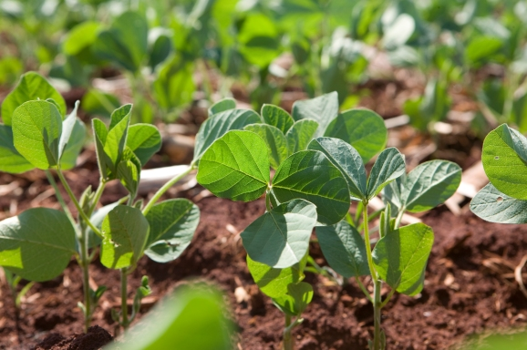 soybeans small